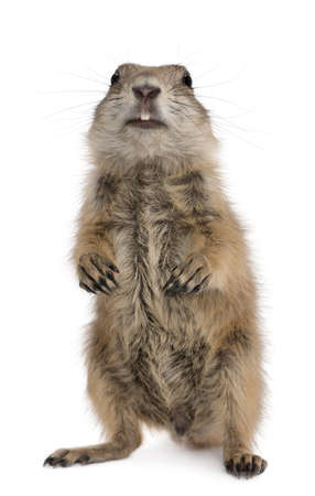 Black-tailed prairie dog, Cynomys ludovicianus, standing on hind legs in front of white background photo