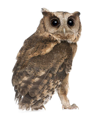 Young Indian Scops Owl, Otus bakkamoena, in front of white background photo