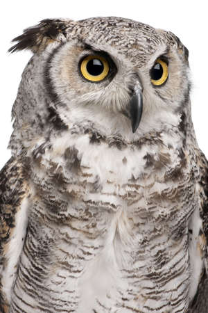 Great Horned Owl, Bubo Virginianus Subarcticus, in front of white background Stock Photo - 7980739