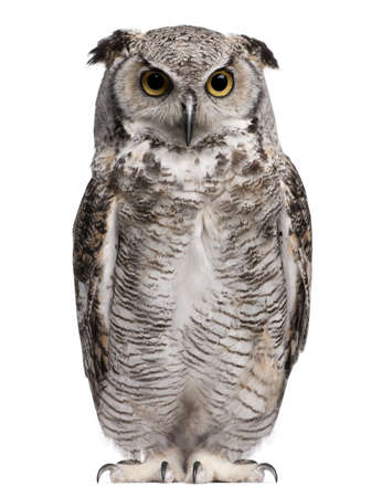 white owl: Great Horned Owl, Bubo Virginianus Subarcticus, in front of white background Stock Photo