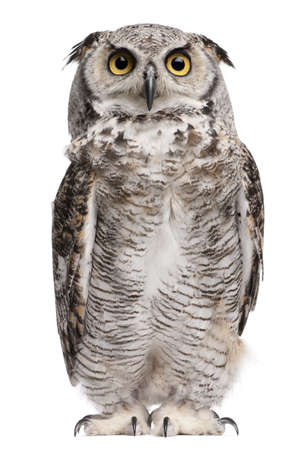 Great Horned Owl, Bubo Virginianus Subarcticus, in front of white background Stock Photo - 7980706