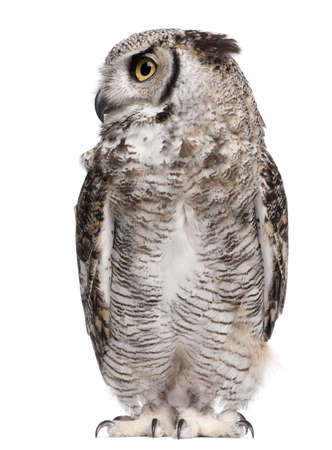 Great Horned Owl, Bubo Virginianus Subarcticus, in front of white background photo