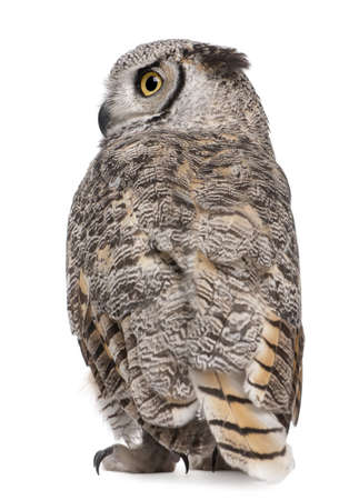 Rear view of Great Horned Owl, Bubo Virginianus Subarcticus, in front of white background photo