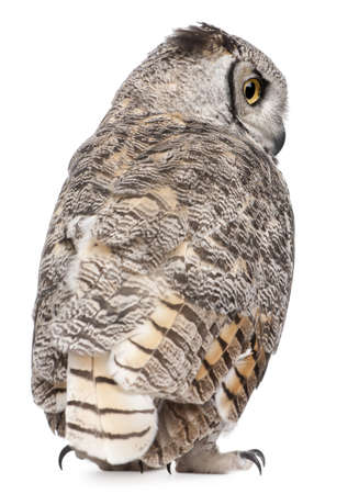 virginianus: Rear view of Great Horned Owl, Bubo Virginianus Subarcticus, in front of white background