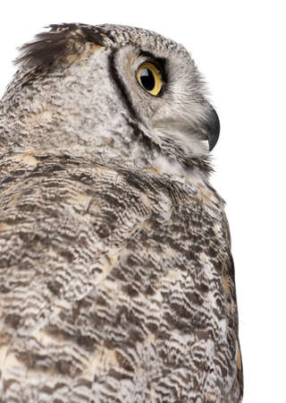 virginianus: Close-up of Great Horned Owl, Bubo Virginianus Subarcticus, in front of white background