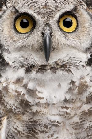horned: Close-up of gran b�ho Bubo Virginianus Subarcticus  Foto de archivo