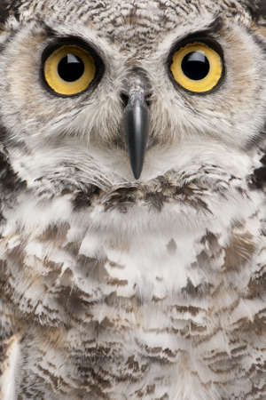 animals horned: Close-up of Great Horned Owl, Bubo Virginianus Subarcticus