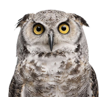 Great Horned Owl, Bubo Virginianus Subarcticus, in front of white background Stock Photo - 7980693