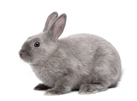 rabbit standing: Grey Rabbit in front of white background Stock Photo