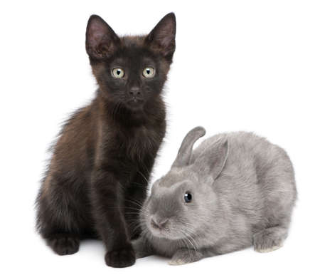 Black kitten playing with rabbit in front of white background photo