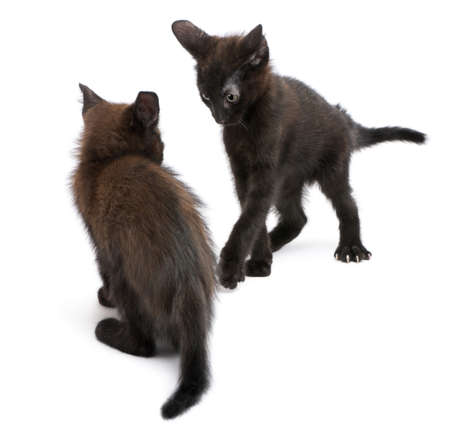 Two black kittens playing together in front of white background photo