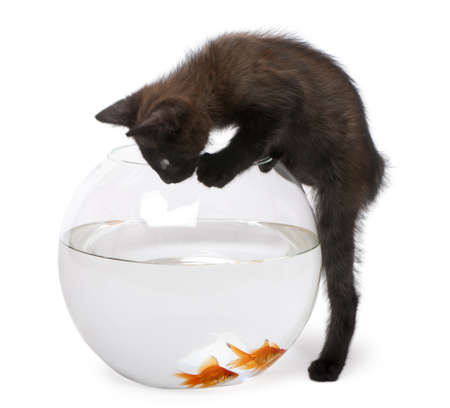 Black kitten looking at Goldfish, Carassius Auratus, swimming in fish bowl in front of white background photo