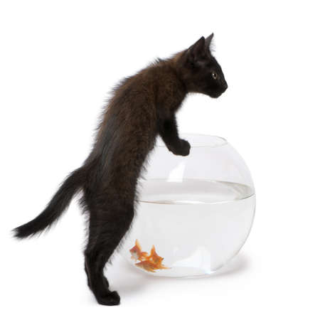 carassius auratus: Black kitten looking at Goldfish, Carassius Auratus, swimming in fish bowl in front of white background Stock Photo