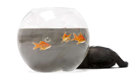 carassius auratus: Black kitten looking up at Goldfish, Carassius Auratus, swimming in fish bowl in front of white background