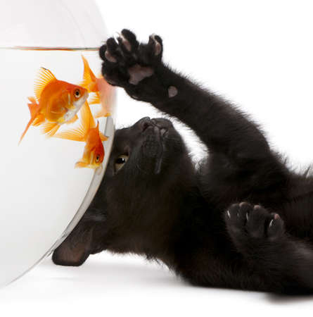 Close-up of Black kitten looking up at Goldfish, Carassius Auratus, swimming in fish bowl in front of white background photo