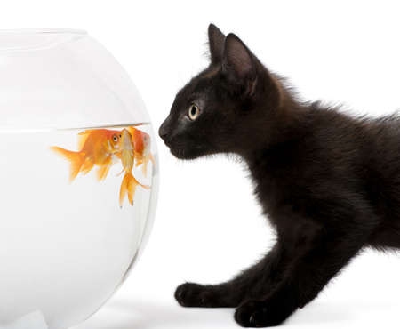 Close-up of Black kitten looking at Goldfish, Carassius Auratus, swimming in fish bowl in front of white background Stock Photo - 7980379