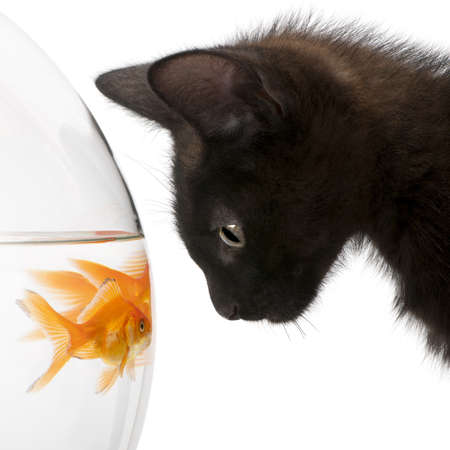 peixe dourado: Close-up of Black kitten looking at Goldfish, Carassius Auratus, swimming in fish bowl in front of white background