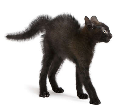 furry tail: Frightened black kitten standing in front of white background