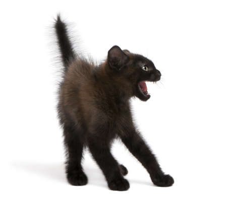young fear: Frightened black kitten standing in front of white background