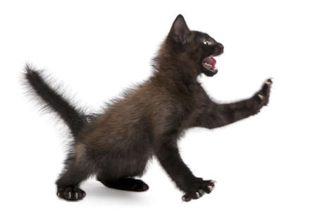 no fear: Frightened black kitten standing in front of white background
