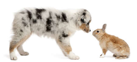 Blue Merle Australian Shepherd puppy face to face with rabbit, sitting in front of white background photo