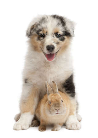 Blue Merle Australian Shepherd puppy playing with rabbit, sitting in front of white background photo
