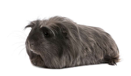 Peruvian guinea pig, Cavia porcellus, lying in front of white background photo
