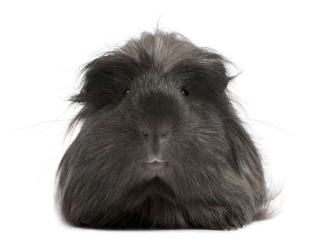 guinea pig: Peruvian guinea pig, Cavia porcellus, lying in front of white background