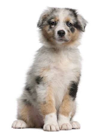 Blue Merle Australian Shepherd puppy, 10 weeks old, sitting in front of white background photo