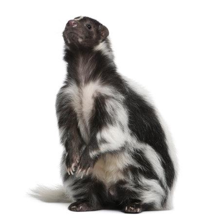 zorrillo: Striped Skunk, Mephitis Mephitis, 5 a�os de edad, sentado frente a fondo blanco