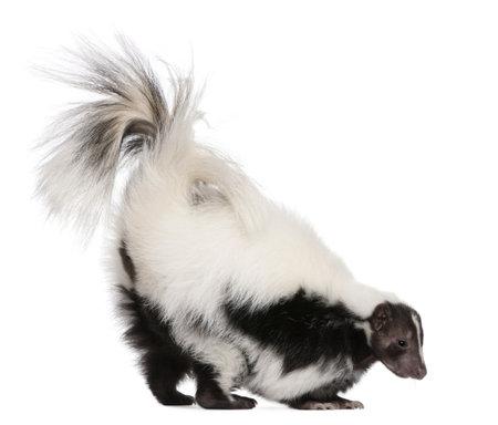 zorrillo: Striped Skunk, Mephitis Mephitis, 5 a�os de edad, de pie delante de fondo blanco