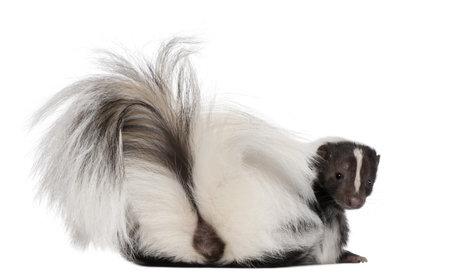 mofeta: Striped Skunk, Mephitis Mephitis, 5 a�os de edad, situada en frente de fondo blanco