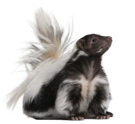 zorrillo: Striped Skunk, Mephitis Mephitis, 5 años de edad, sentado frente a fondo blanco  Foto de archivo