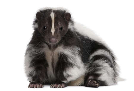 skunk: Striped Skunk, Mephitis Mephitis, 5 years old, lying in front of white background Stock Photo