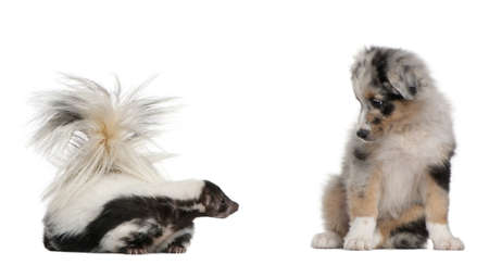 Blue Merle Australian Shepherd puppy, 10 weeks old, looking at Striped Skunk, Mephitis Mephitis, 5 years old, sitting in front of white background photo
