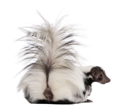 shot from behind: Striped Skunk, Mephitis Mephitis, 5 years old, sitting in front of white background