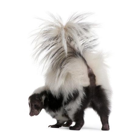 stinktier: Striped Skunk, Streifenskunks Streifenskunks, 5 Jahre alt, standing in front of white background