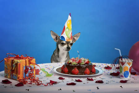 Chihuahua at table wearing birthday hat and looking at birthday cake in front of blue background photo