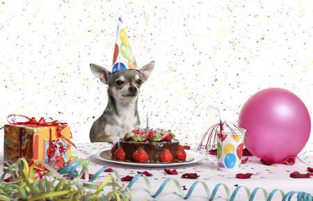 Chihuahua at table wearing birthday hat and looking at birthday cake in front of white background photo