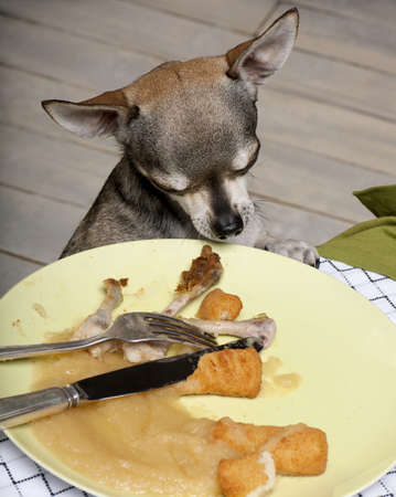 leftovers: Chihuahua looking at leftover food on plate at dinner table Stock Photo