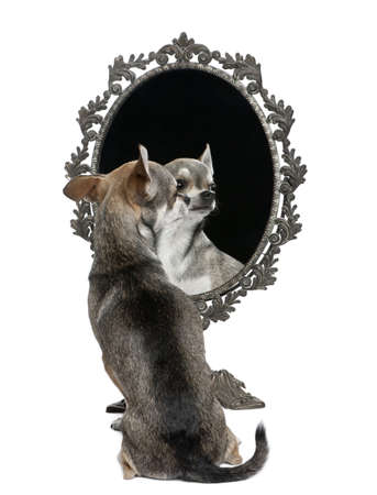 Chihuahua with mirror sitting in front of white background Stock Photo - 7980588