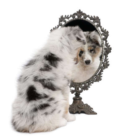 full length mirror: Blue Merle Australian Shepherd puppy, 10 weeks old, looking at reflection on mirror in front of white background Stock Photo