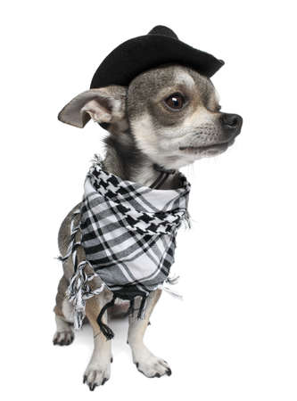 perros vestidos: Chihuahua llevaba un sombrero delante de fondo blanco