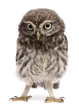 vertebrate: Young owl standing in front of white background