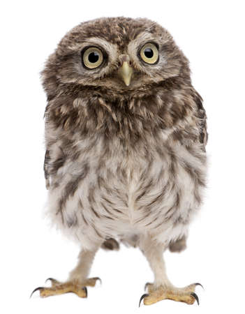 Young owl standing in front of white background photo