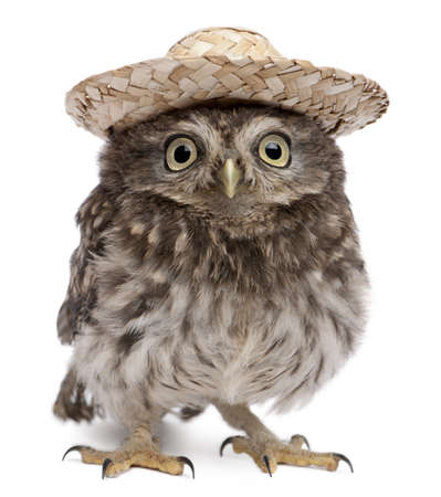 animal species: Young owl wearing a hat in front of white background