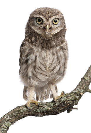 Young owl perching on branch in front of white background photo