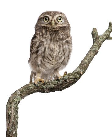 civetta bianca: Gufo di giovane che si appollaia su un ramo di fronte sfondo bianco
