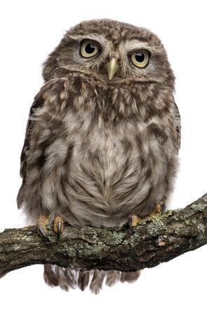 hibou: Chouette jeune perch�s sur des branches en face de fond blanc  Banque d'images