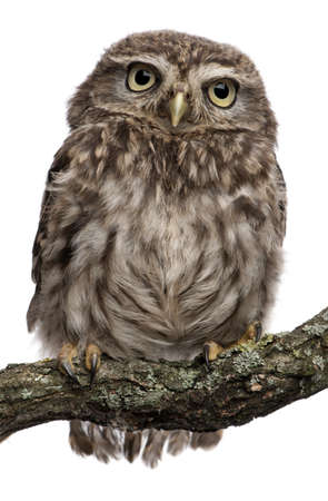 white owl: Young owl perching on branch in front of white background Stock Photo